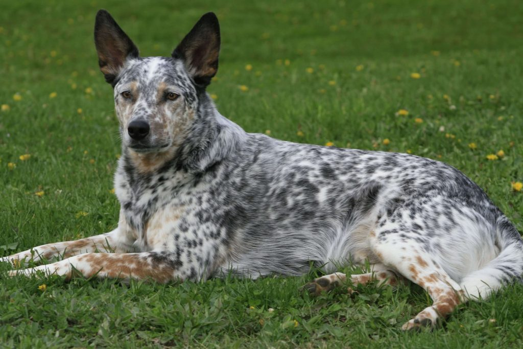 Australian Cattle Dog with Pointy Ears