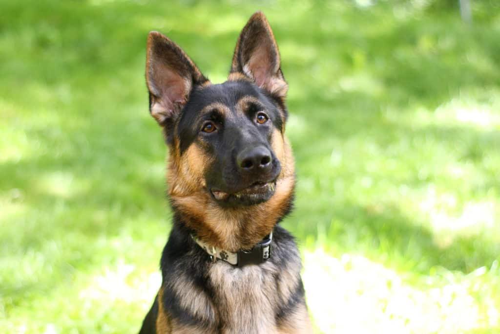 German Shepherd dog having ears that stand up