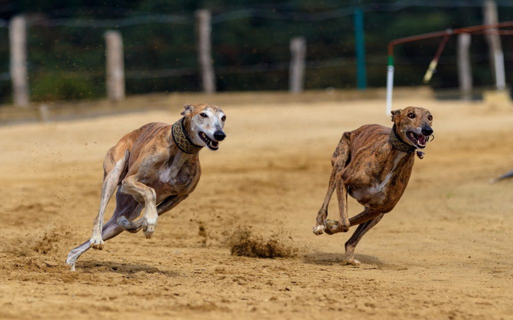 Greyhounds are the fastest dog