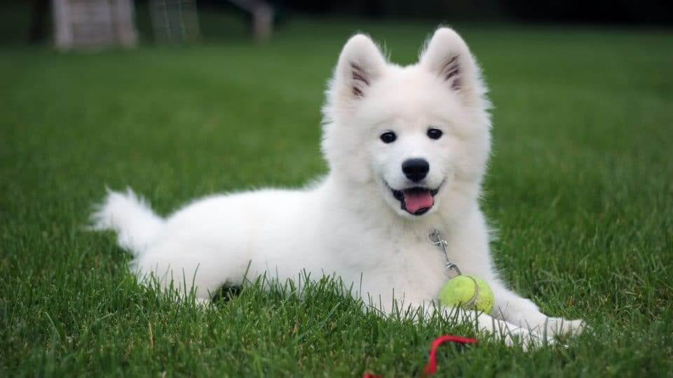 A Samoyed puppy with small upright ears