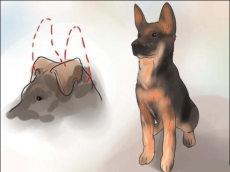 Ways to get your dog ears stand up