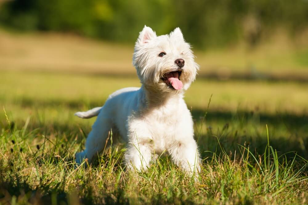 West Highland White Terrier with small perky ears