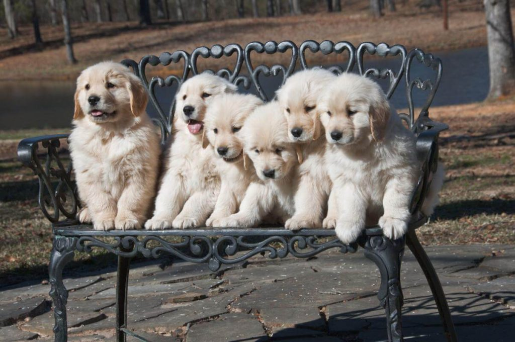 A pack of floppy-ears golden retriever puppies on the bench
