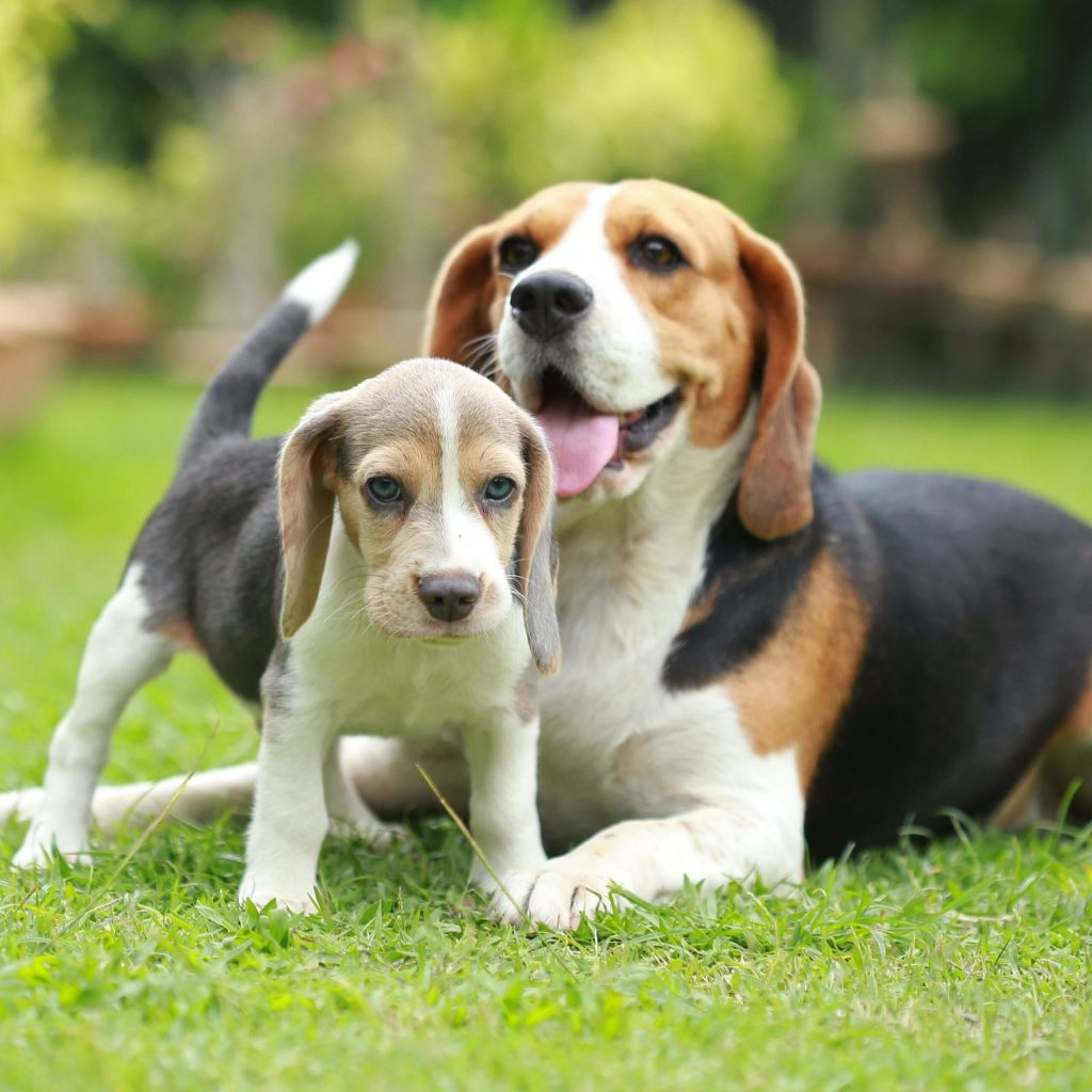 Drooping-ears beagle puppy and mom