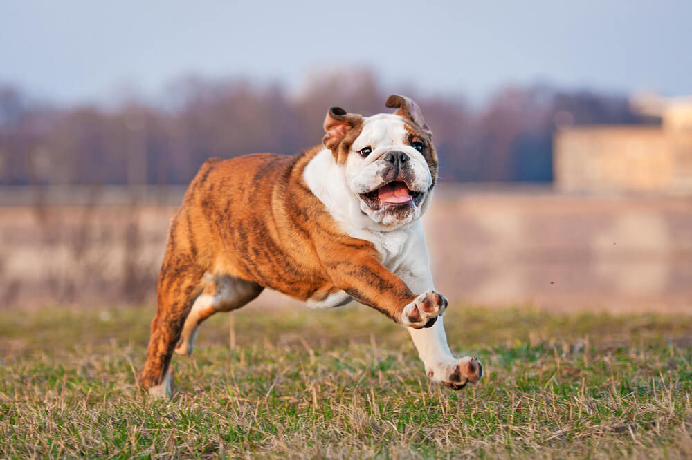 Bulldogs can't run fast due to breathing problems