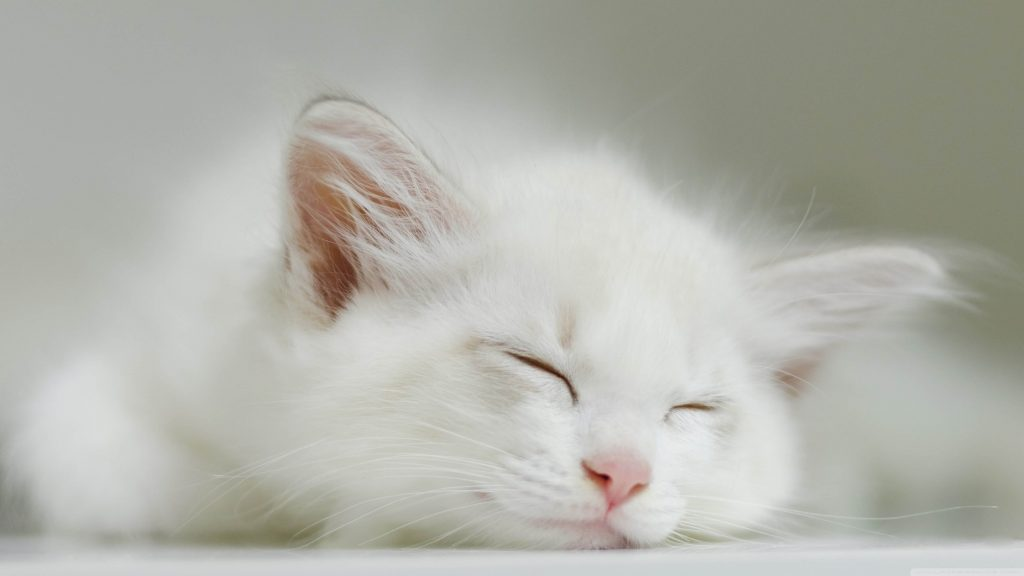 A cute little white furry kitten is sleeping