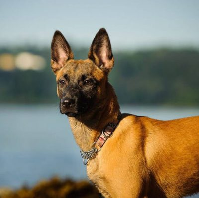Dog with pointy ears