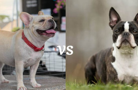 boston terrier vs french bull dog