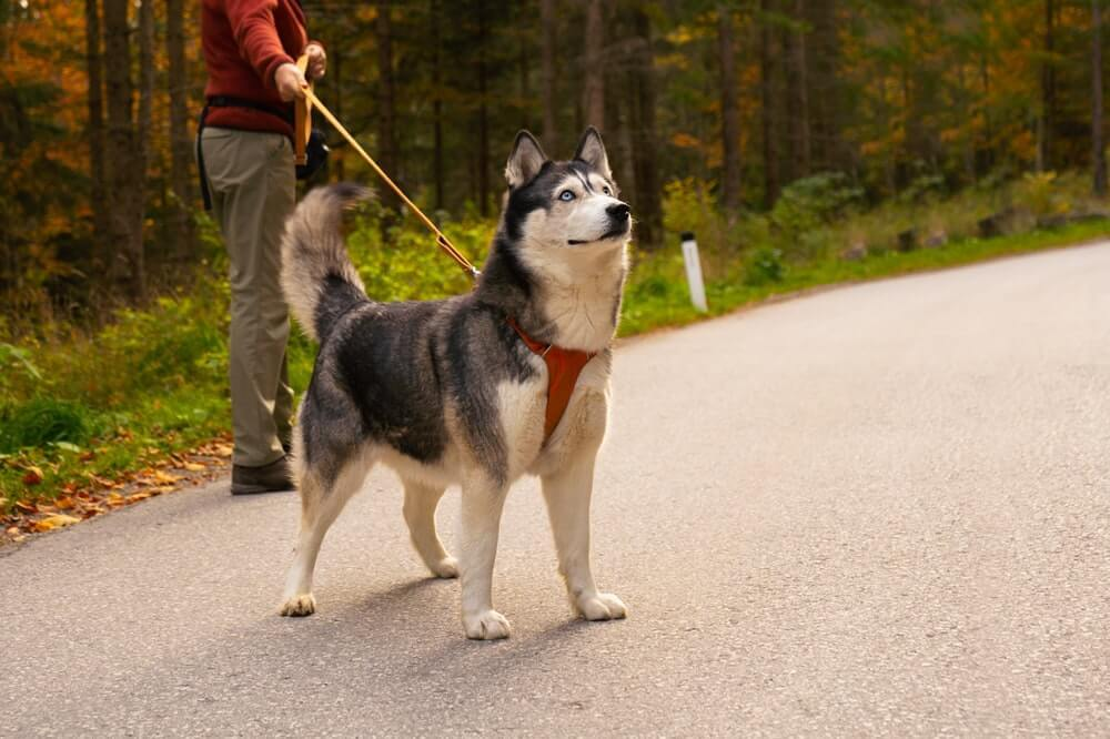 Siberian Husky can remain long distance running