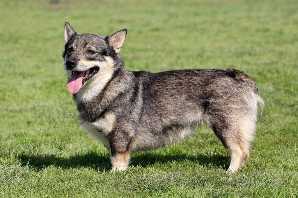 Swedish Vallhund with pointy ears