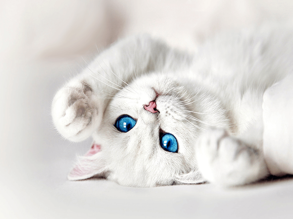 A pretty white cat with blue eyes