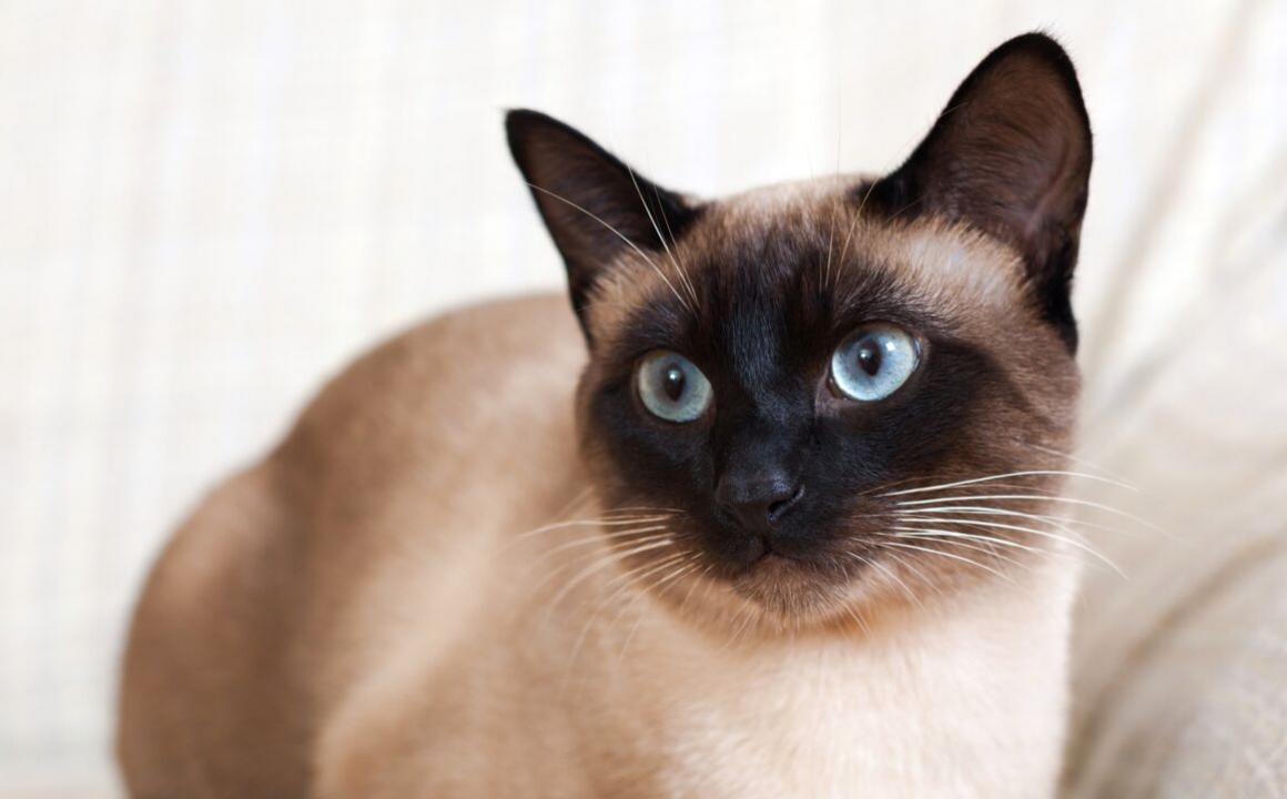 siamese blue-eyed cats
