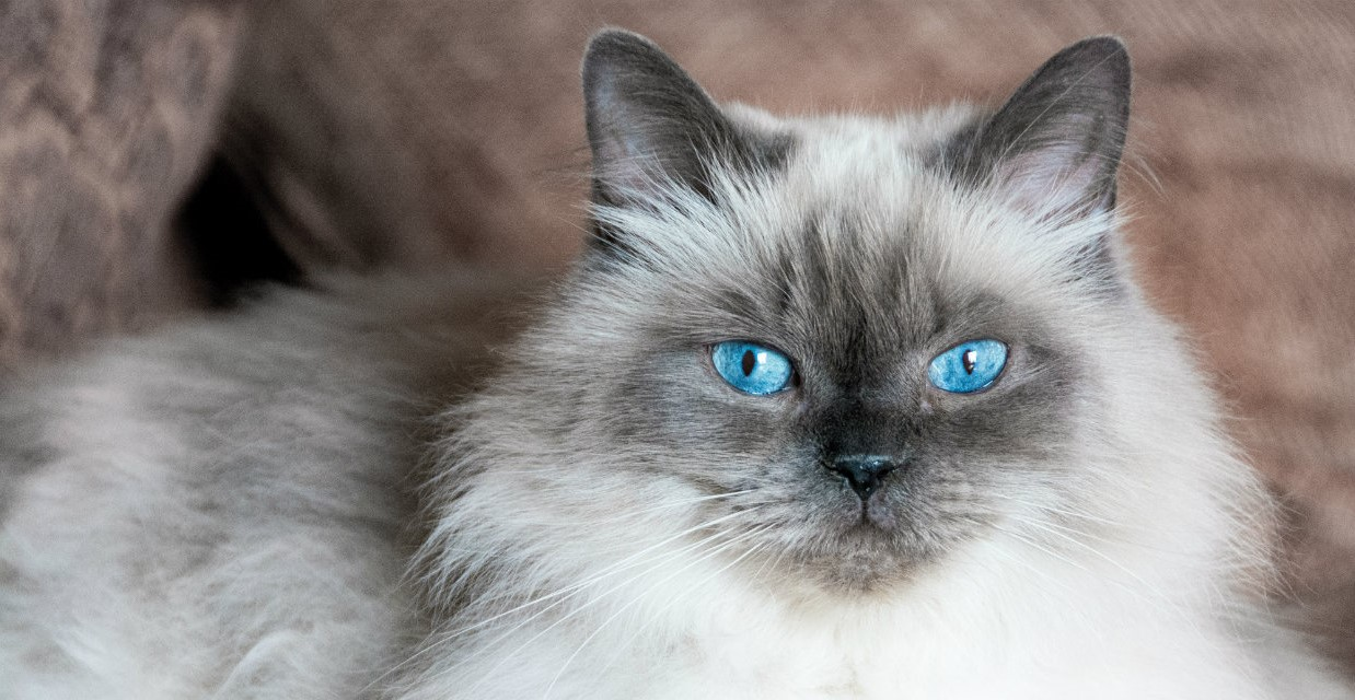 hymalayan cat with blue eyes