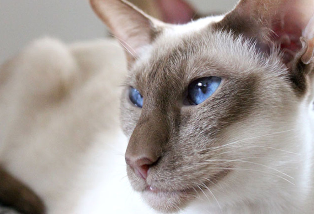 javannese cats with blue eyes