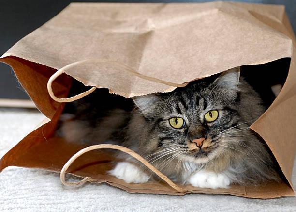 playful cat breeds