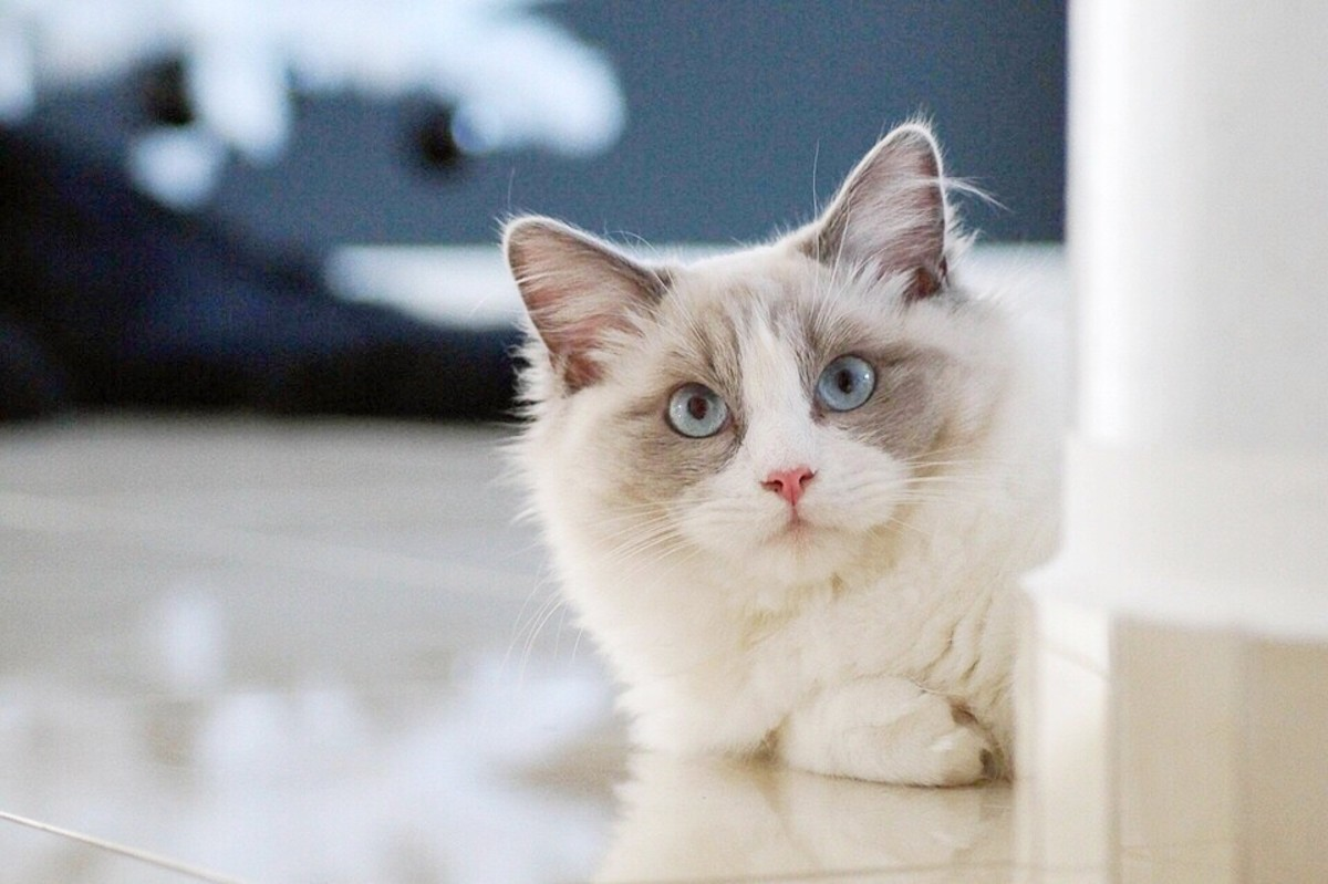 Cat Breeds With Blue Eyes