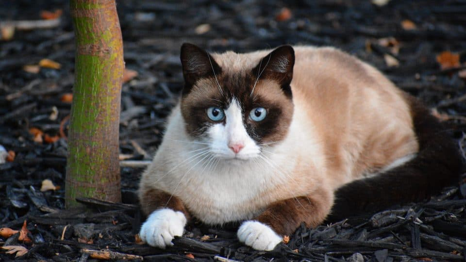 ssnowshoe cats with blue eyes